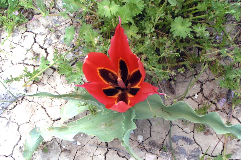 tulips_6