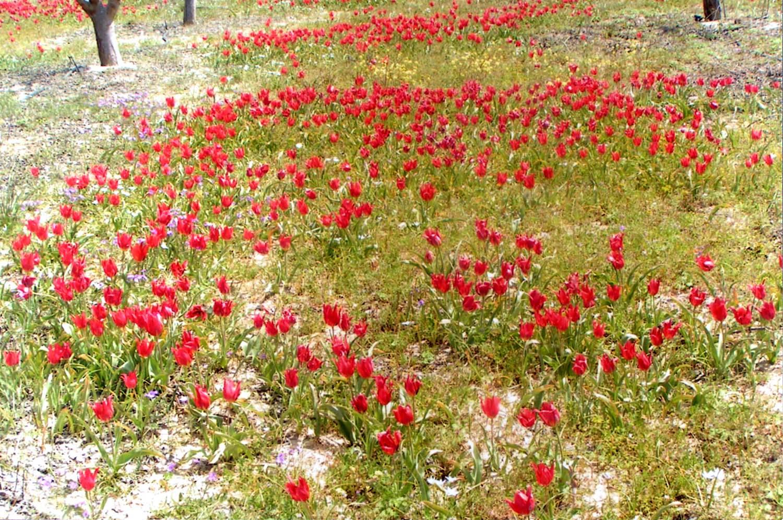 tulips_8